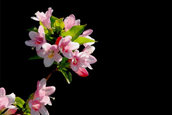 锦带花品种大全