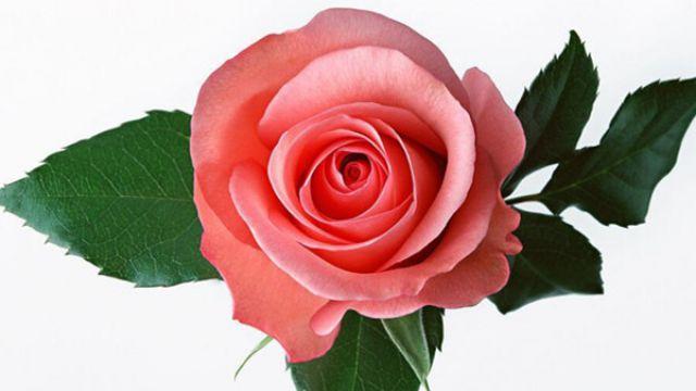 11朵红玫瑰花语_不同颜色的玫瑰花语含义是什么 - 花百科