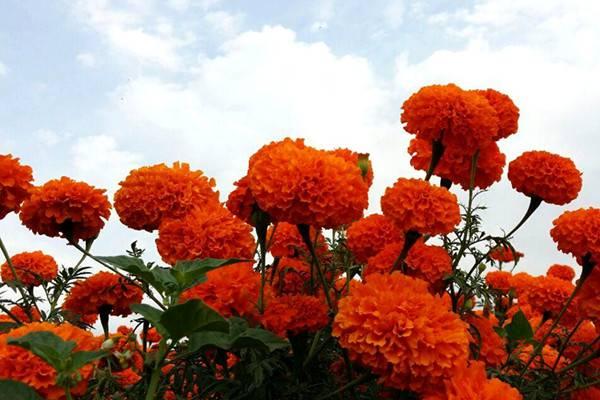 万寿菊为什么不开花