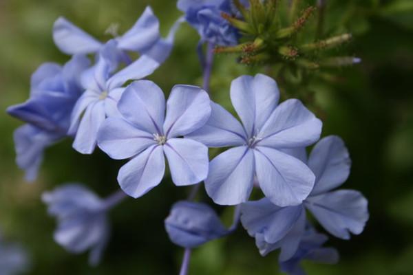 蓝花丹的繁殖方法