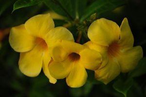 黄蝉叶子发黄怎么办
