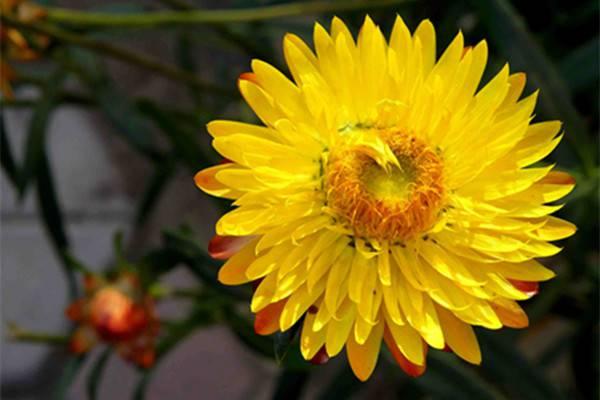 麦秆菊的病害及其防治