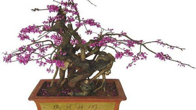 紫荆的盆景制作方法