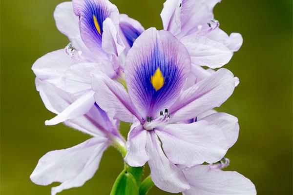 凤眼蓝的栽培方法