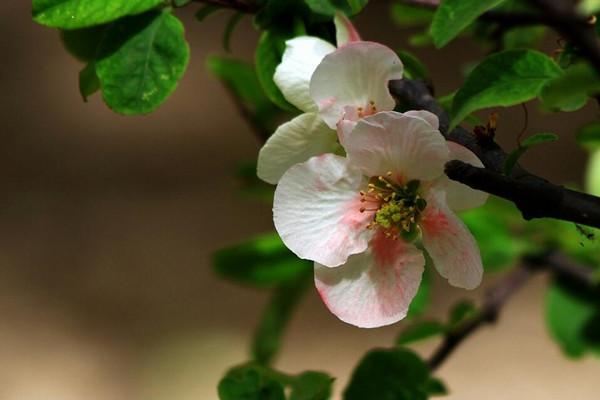 橄榄花常见欧亿登录病虫害及防治方法