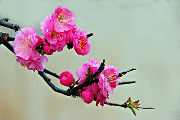 榆叶梅的整形修剪方法