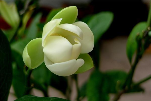 夜合花的四季养护方法