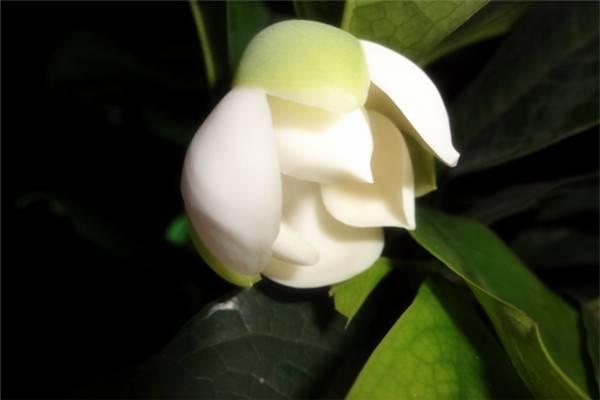 夜合花繁殖之嫁接与扦插