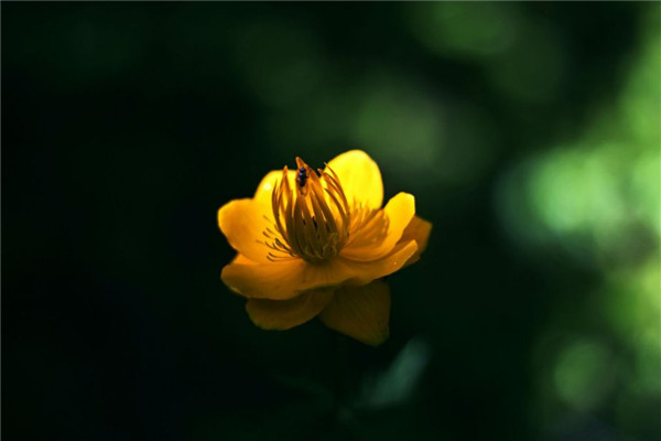 金莲花的家庭养殖方法