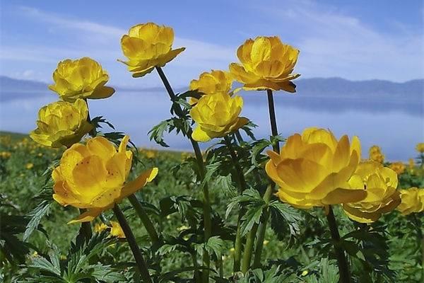 金莲花的病害防治办法