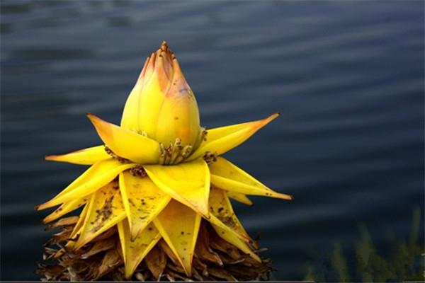 地涌金莲的花语和传说