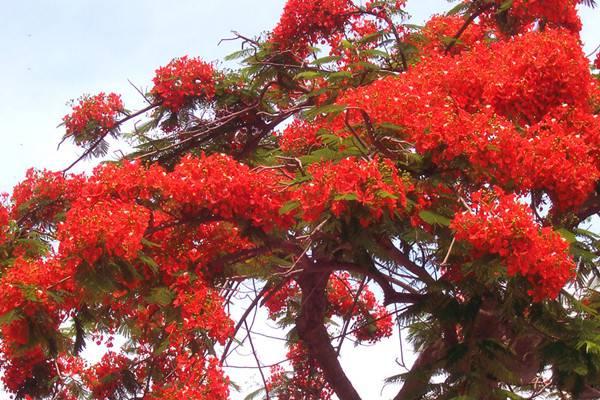 凤凰木的生长环境和养殖方法