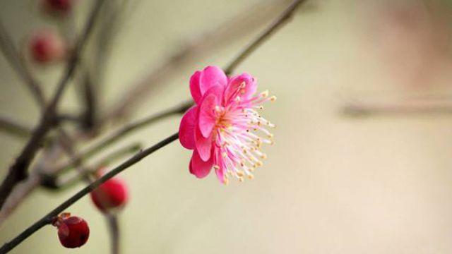 松红梅的四季养护方法