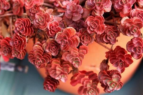 秋天,小球玫瑰怎么养出紫红色