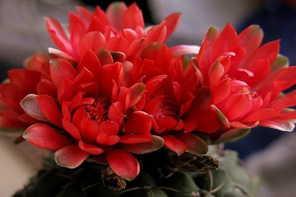 绯花玉及其品种