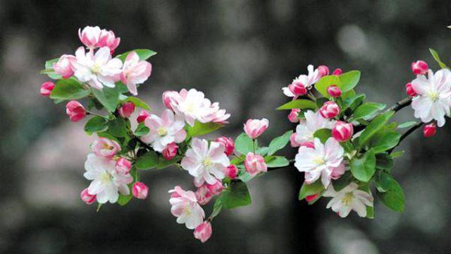 如何制作和养护西府海棠盆景
