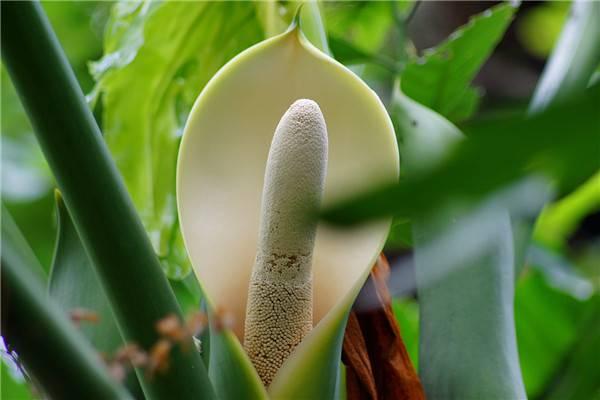 养好龟背竹要注意利用气生根