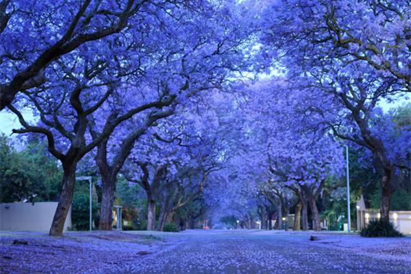 蓝花楹在世界各地的相关文化