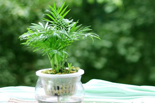 狮子座的守护植物――袖珍椰子