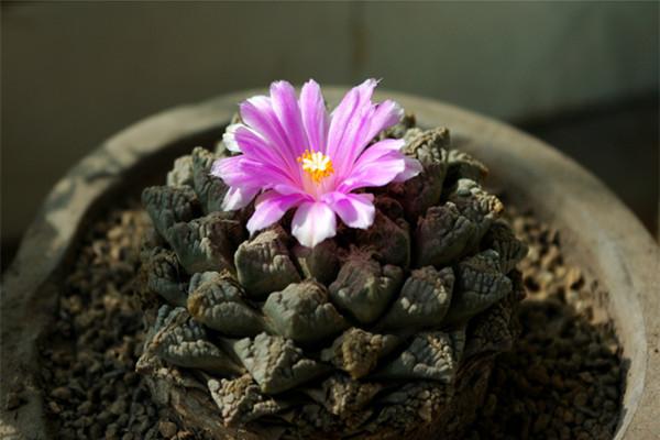 龟甲牡丹的养殖方法和注意事项