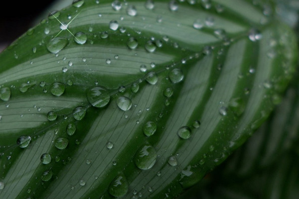 紫背竹芋的病虫害及其防治