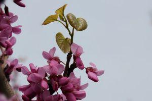 紫荆叶子变黄怎么办