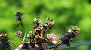 小球玫瑰种植资料简介
