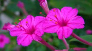 紫茉莉种子粉_紫茉莉的功效与作用 - 花百科