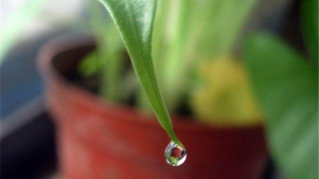 滴水观音水养方法