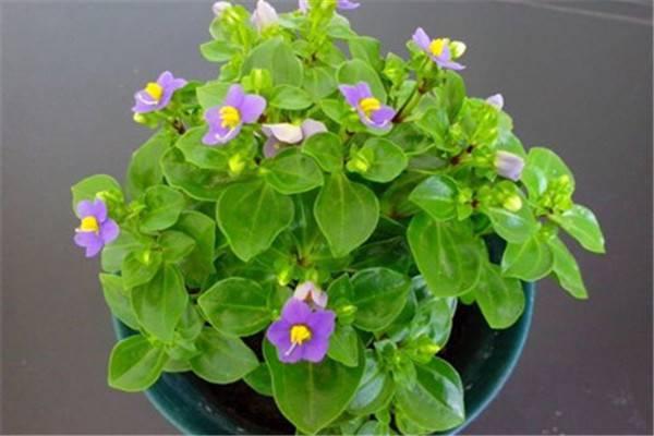 紫芳草的种植方法