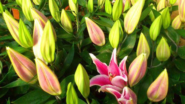 百合花种球种植