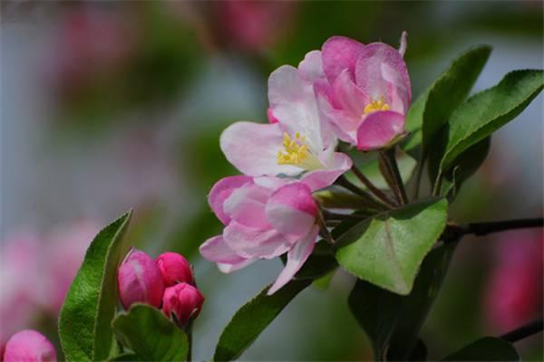 西府海棠的繁殖方式