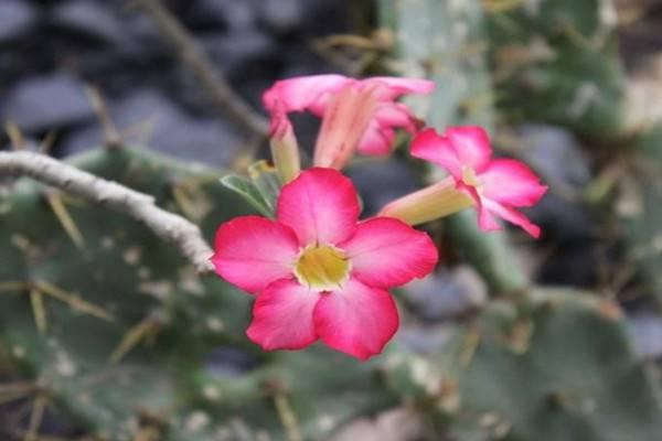 沙漠玫瑰种子