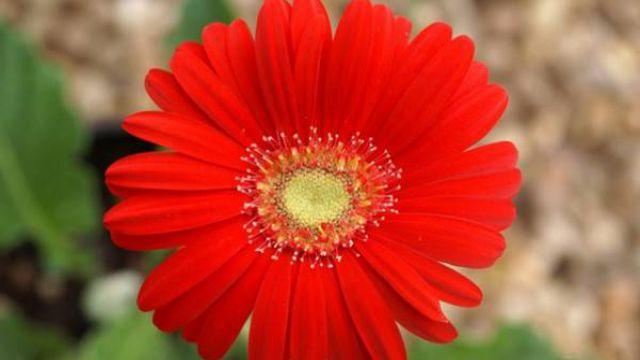 非洲菊的养殖方法和注意事项