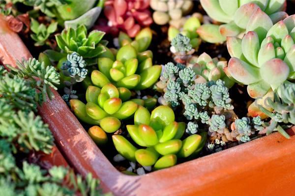 多肉植物最佳繁殖季