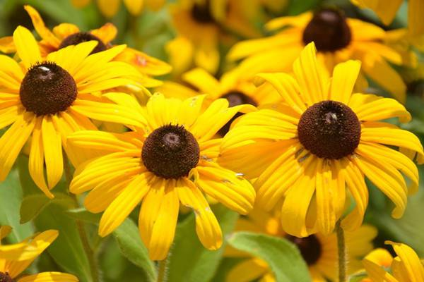 黑心菊的养殖方法和注意事项