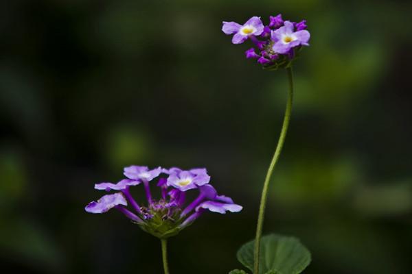 香水草的养殖方法和注意事项