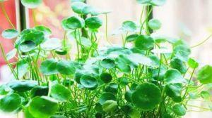 九款懒人水培植物,任你选