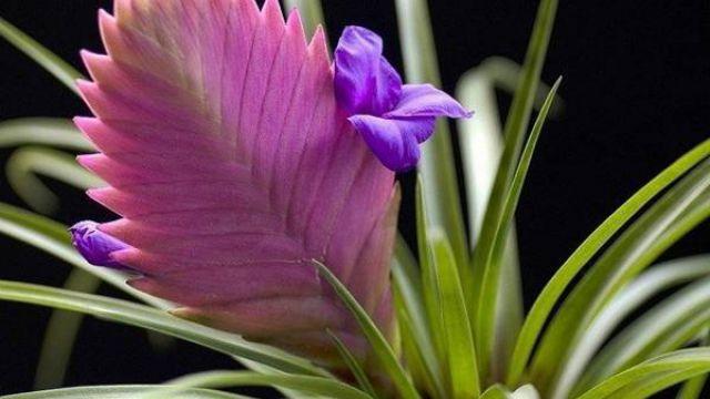紫凤梨的养殖方法和注意事项