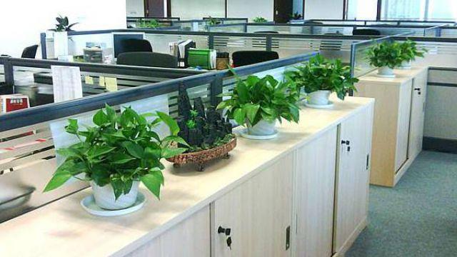 办公室绿植变黄怎么办