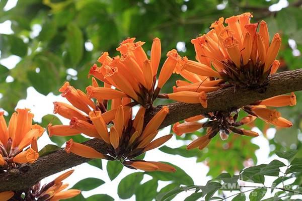 火烧花的养殖方法和注意事项