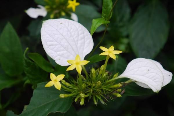 玉叶金花的养殖方法和注意事项