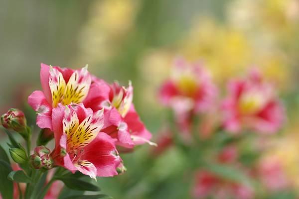 六出花的养殖方法和注意事项