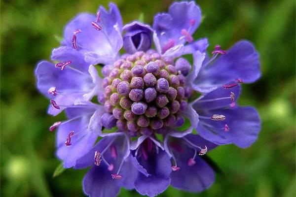 蓝盆花的养殖方法和注意事项