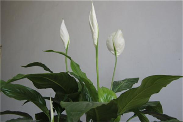 什么花适合在室内养_一帆风顺花可以放在卧室里吗 - 花百科