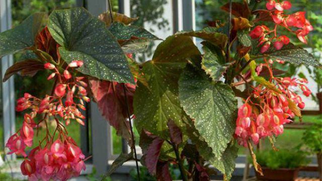 竹�秋海棠的�B殖方法和注意事�