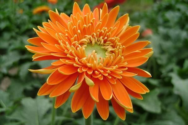 向日葵、太阳花、非洲菊……你能分清吗