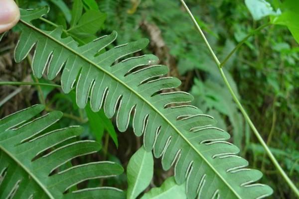 凤尾蕨的病欧亿登陆地址虫害及其防治