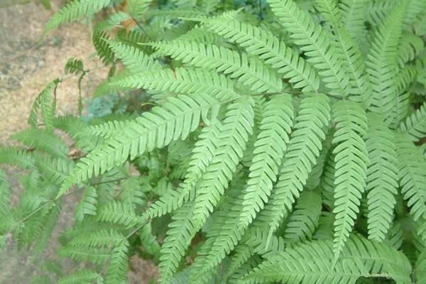 凤尾蕨有哪些品种