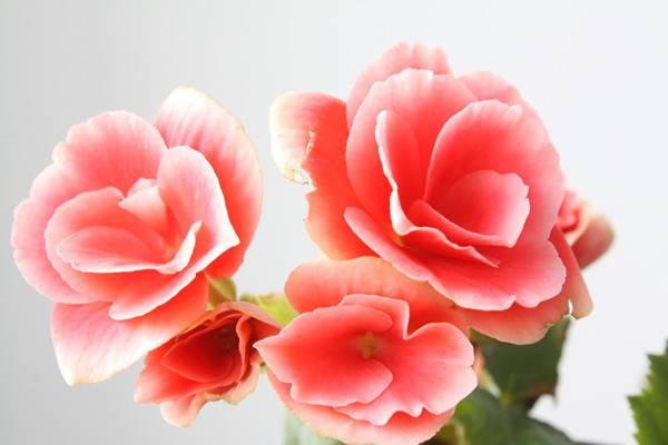 海棠花的花语和传说
